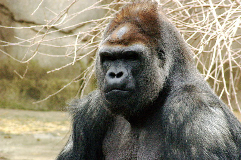 Muscular differences Chimps vs Human | Page 5 | Sherdog Forums ...